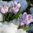 Flowers purple crocus in the snow - Stock Photo