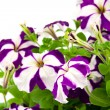 Purple petunia — Stock Photo