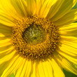 Yellow sunflower on a green background — Stock Photo #2297284