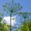 Stock Photo: Dill grows in garden