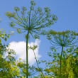 Dill grows in the garden — Stock Photo