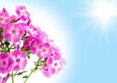 Phlox di fiori contro il cielo blu e sole — Foto Stock