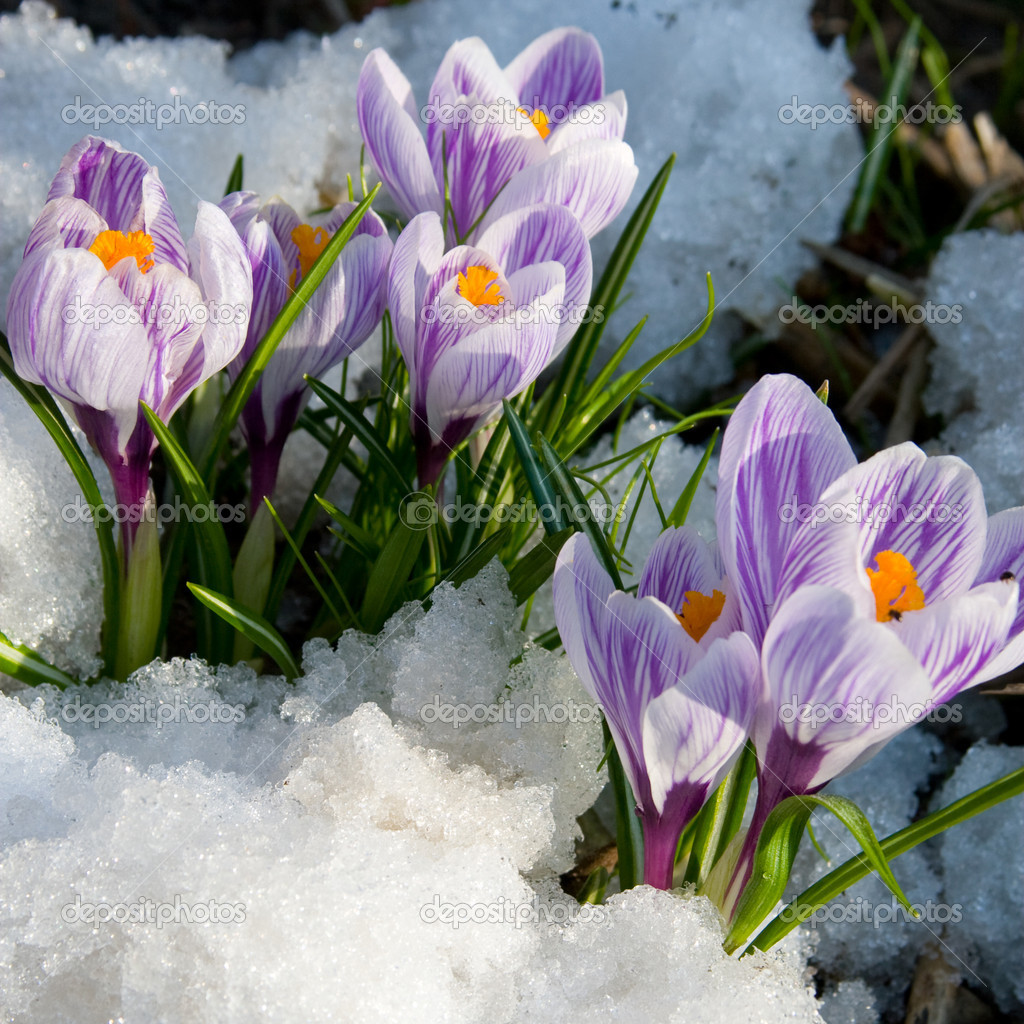 Flowers purple crocus in the snow, spring landscape — Stock Photo #2297218