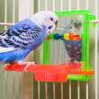 Parakeet — Stock Photo #1702466