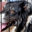 Royalty-Free Stock Photo: Caged Border Collie