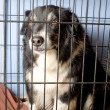 Caged Border Collie — Stock Photo #1709095