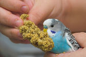 Parakeet — Stock Photo