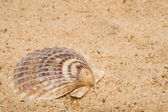 Clam Shell — Stock Photo