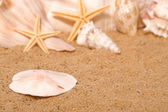 Sand Dollar — Stock Photo