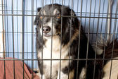 Caged Border Collie — Stock Photo