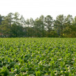 Stock Photo: Tobacco Field