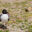 Laughing Gull - Stock Photo