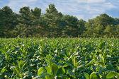 Tobacco Field — Stock Photo