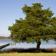 Stock Photo: Spruce Tree