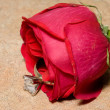 Wedding Ring in a Rose — Stockfoto