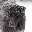 Royalty-Free Stock Photo: Black Lab Mix in Snow