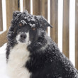 Border Collie in the Snow - Stock Photo