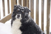 Border Collie in the Snow — Stock Photo