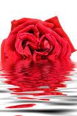 Rosa vermelha — Fotografia Stock