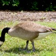 Canadian Goose — Stock Photo