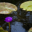 Water Lilly — Foto Stock #2014898