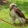 Stock Photo: Red Tail Hawk