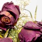 Dead Roses — Stock Photo