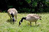 Canadian Geese — Stock Photo