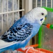 Parakeet — Stock Photo #2021725