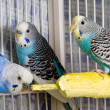 Stock Photo: Parakeet