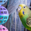 Parakeet — Stock Photo #2021972