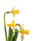 Narcissus 03 — Stock Photo
