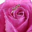 Close up of gold ring in pink rose — Stock Photo #1710705