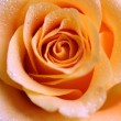 Stock Photo: Dewy rose