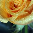 Dewy rose — Stock Photo