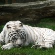White tiger (panthera tigris) — Stock Photo