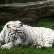 White tiger (panthera tigris) - Stock Photo