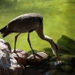 Grey heron — Stock Photo #1718620