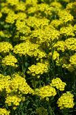 Yellow meadow — Stock Photo