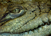 Crocodilo — Fotografia Stock