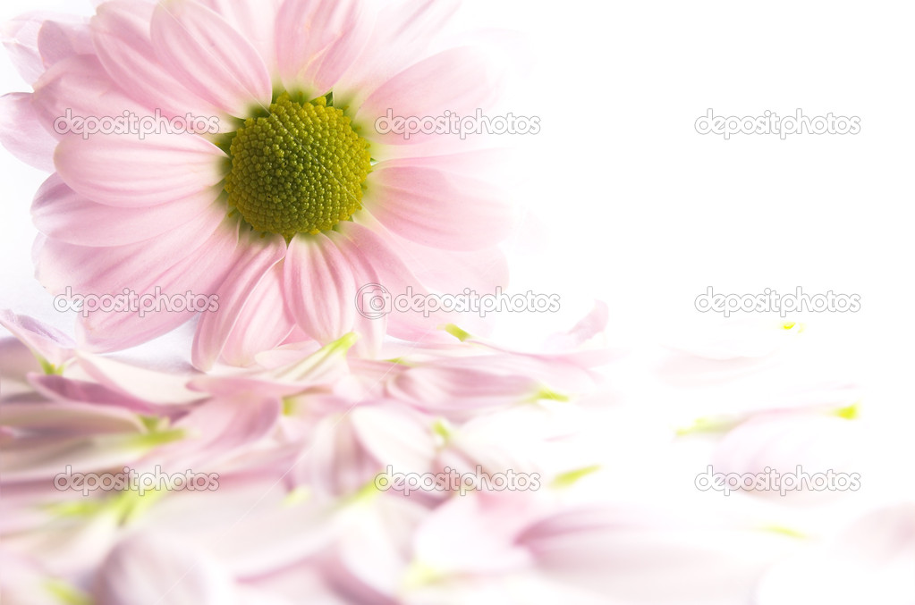 Pink chrysanthemum with petals  Stock Photo #1819255