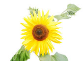 Beautiful yellow flower, colorful sunflo — Stock Photo