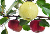 Isolated apple, harvest time, red and yellow col — Stock Photo