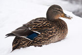 Winter duck — Stock Photo