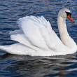 Royalty-Free Stock Photo: White swan