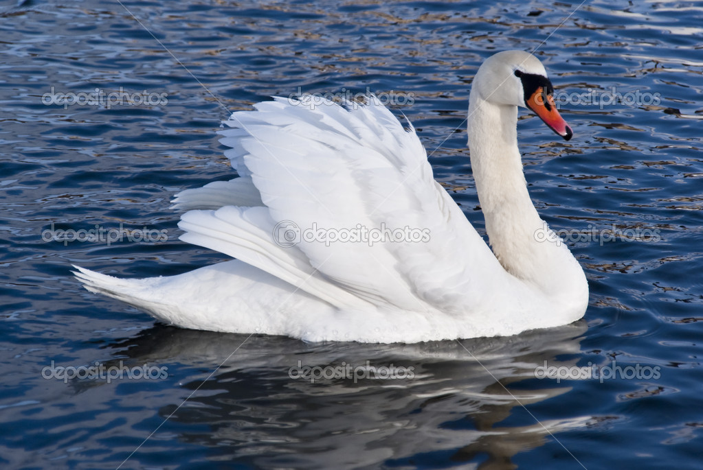A white swan swimming over the pond  — Stock Photo #2190060