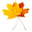 Autumn leaves  isolated — Stock Photo