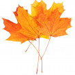 Autumn leaves with clipping path — Stock Photo