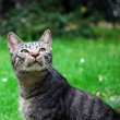 Stock Photo: Tabby cat