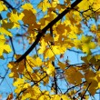 Maple leaves iin fall — Stock Photo